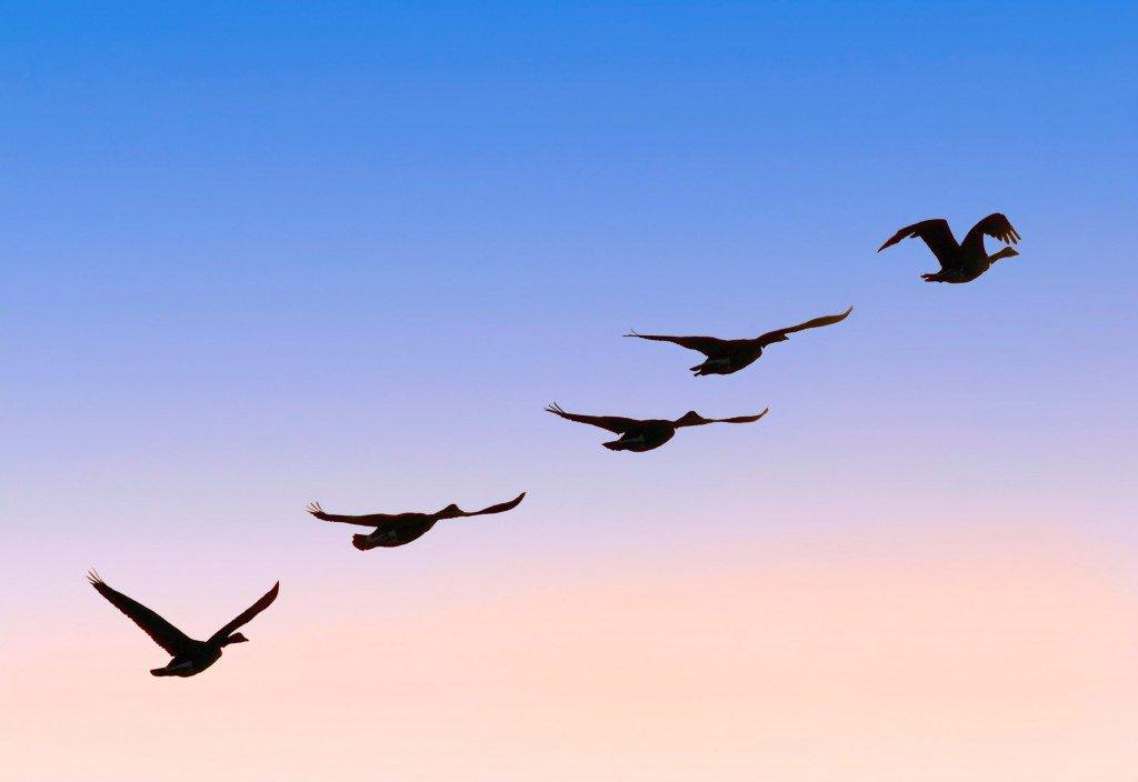 Flock of Geese Soaring in Sky